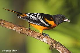 Baltimore Oriole (Courtesy All ABout Birds, Cornell: http://www.allaboutbirds.org/guide/Baltimore_Oriole/lifehistory