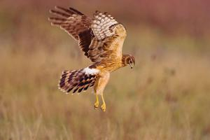 Northern Harrier, courtesy of Audubon. See Field Guide: http://www.audubon.org/field-guide/bird/northern-harrier