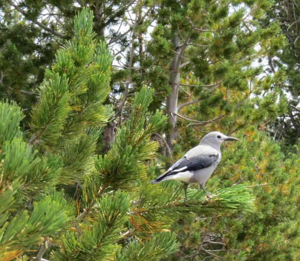 The Clark's nutcracker plays a key role --plucking white bark pine seeds, burying them in different places in the ground for later retrieval, and inadvertently perpetuating an important kind of forest. The seeds of white bark pines are exceptionally nutritious for birds and animals--like ground squirrels and chipmunks too!