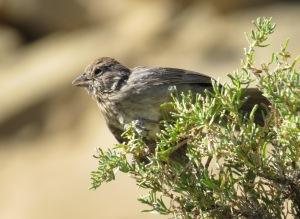 Green-tailed Towhee at Chaco