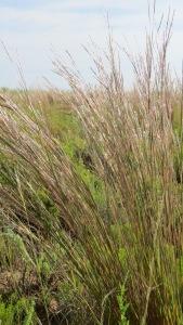 Bluestem native grass