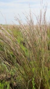 Bluestem native grass