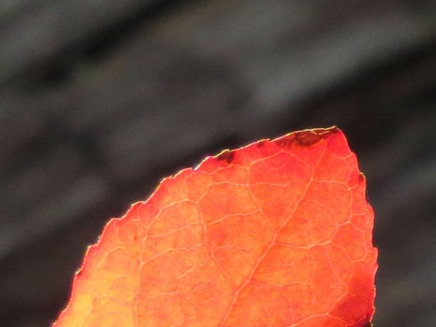 red leaf closeup
