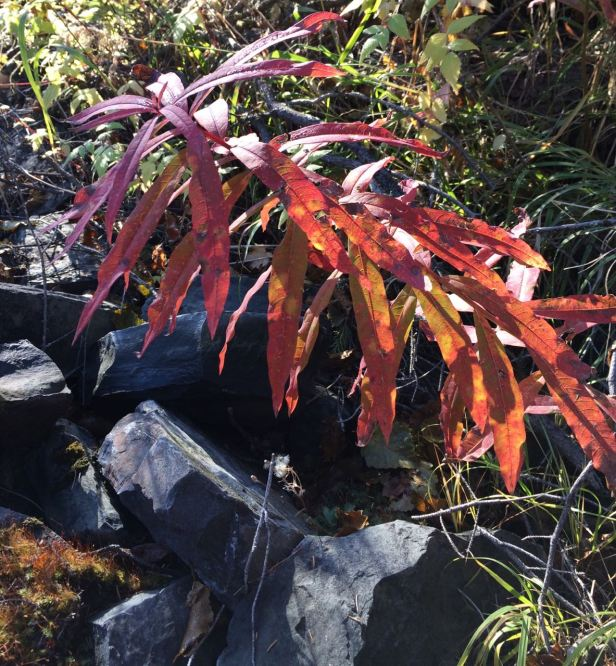 fireweed red leaves