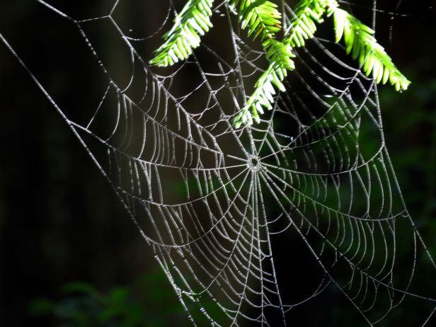 Spider web on Redwood branch.