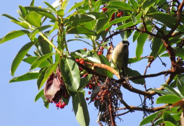 A cedar waxwing feasts on the ripe berries of a madrone tree in Point Reyes.