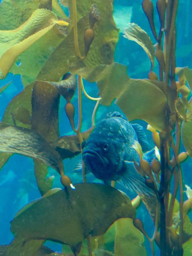 fish resting in kelp monterey bay aquarium
