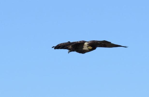 Hawk in wind- Point Reyes