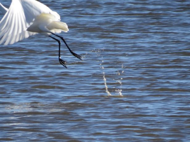 Writing can be so tough! Like missing that take-off photo of the egret at Tomales Bay-- so close, but all that remains are the droplets splashing in the water.