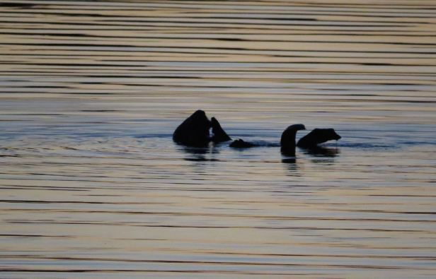 sea otter Morro Bay sunset.jpg