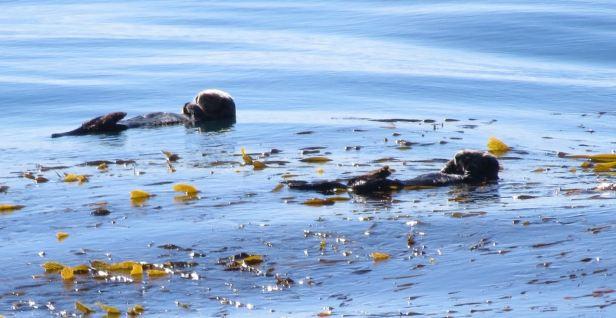 sea otters big sur