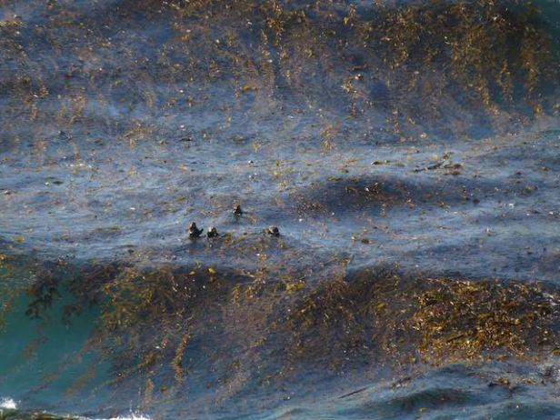 sea otters in kelp Big Sur