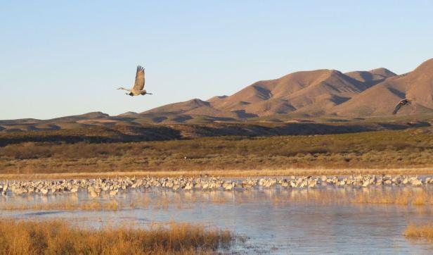 crane flying over flocks