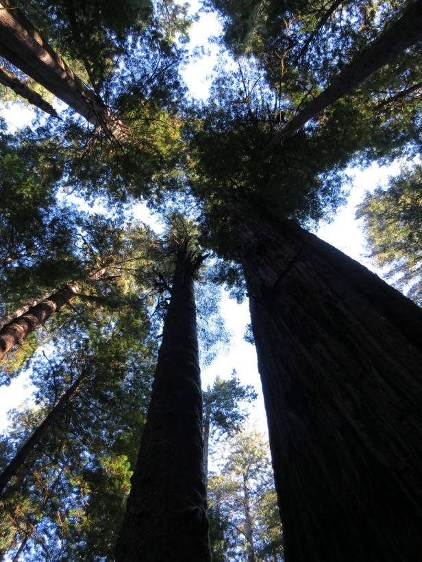 Looking up redwoods