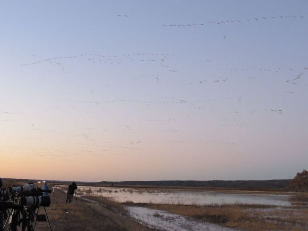 snow geese flying in at dawn
