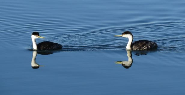 2 grebes meeting up morro bay.jpg