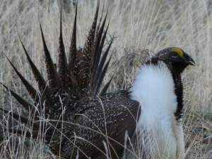 Thiemann-sage-grouse-660-660x495
