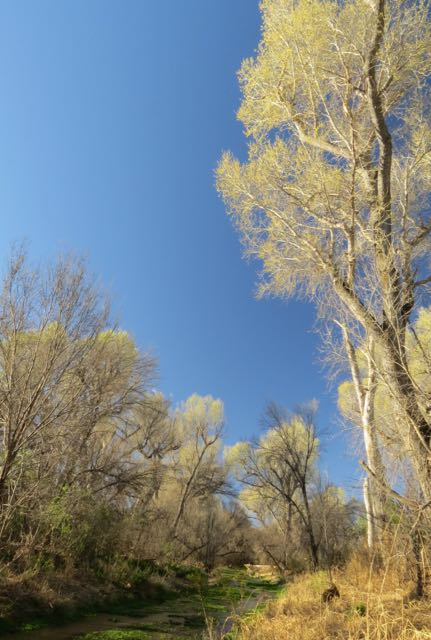 greening cottonwoods- Sonoita Creek.jpg