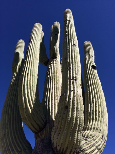 saguaro arms reaching sky