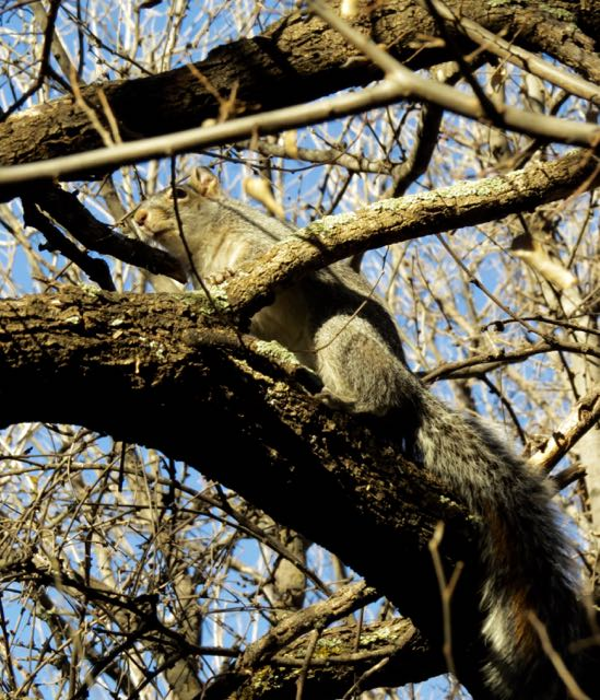 squirrel in tree Patagonia TNC preserve.jpg