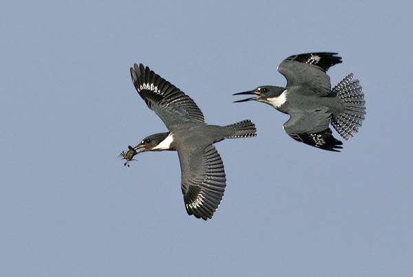 Neiger-CC-Belted-Kingfisher
