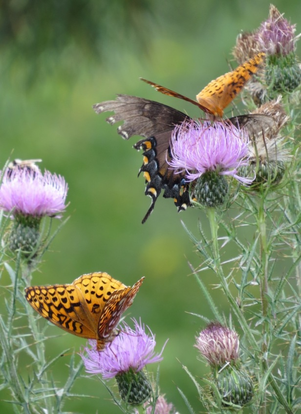 3 butterflies + bee-thistle/blueridge-VA