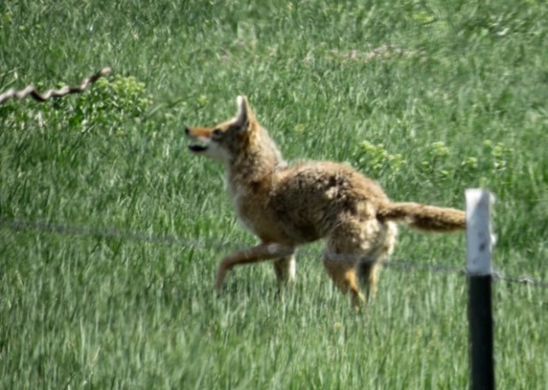 coyote with snake in air!