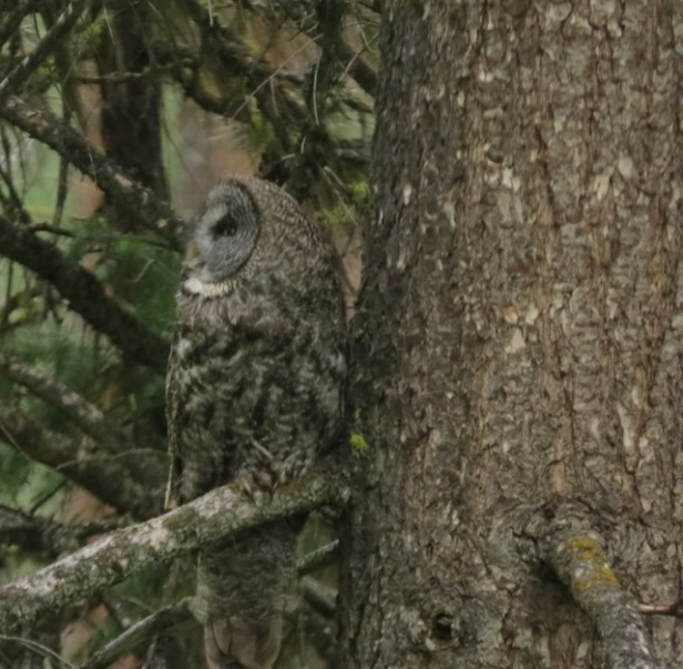 great gray owl3