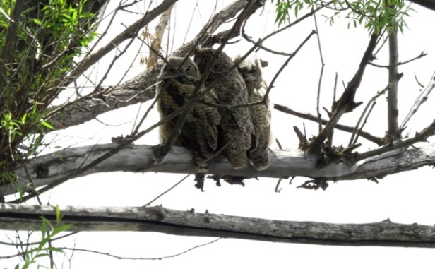 great-horned owl family 2