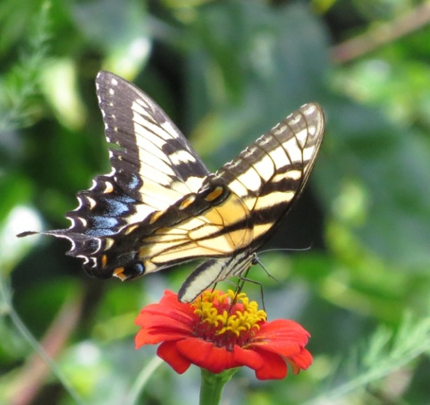 swallowtail in Cynthias backyard