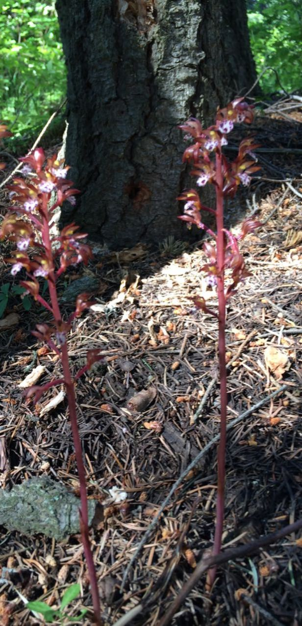 spottedcoralroot