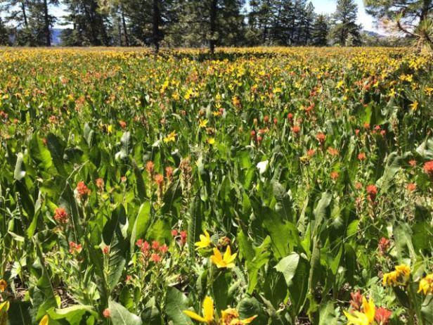 wildflower extravaganza umatilla rim