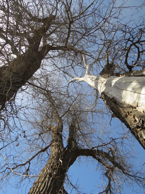 cottonwoods looking up