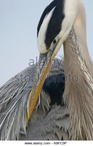 great-blue-heron-ardea-herodius-wakodahatchee-wetlands-delray-beach-a8fc5p
