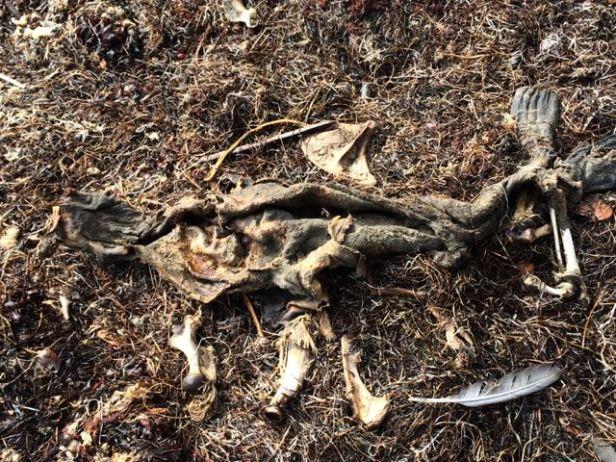 detritus & seal bones/skin