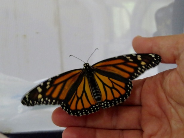 emerged monarch wings spread