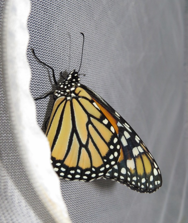 just emerged monarch