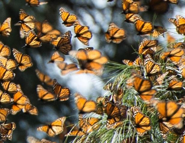 monarchs_mexico3_pcdonated_nicolehamilton