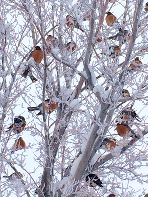 robins in snowstorm