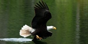 bald-eagle_PCDonated_Derek-Brusse_header-1400x700