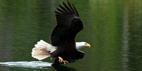 bald-eagle_PCDonated_Derek-Brusse_header-1400x700
