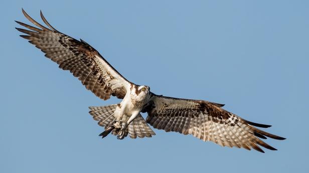 Osprey_AlfredForns-AudubonPotographyAward