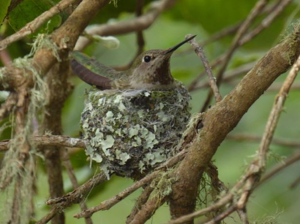annas hummingbird on nest