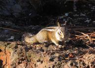 Yellow-Pine Chipmunk
