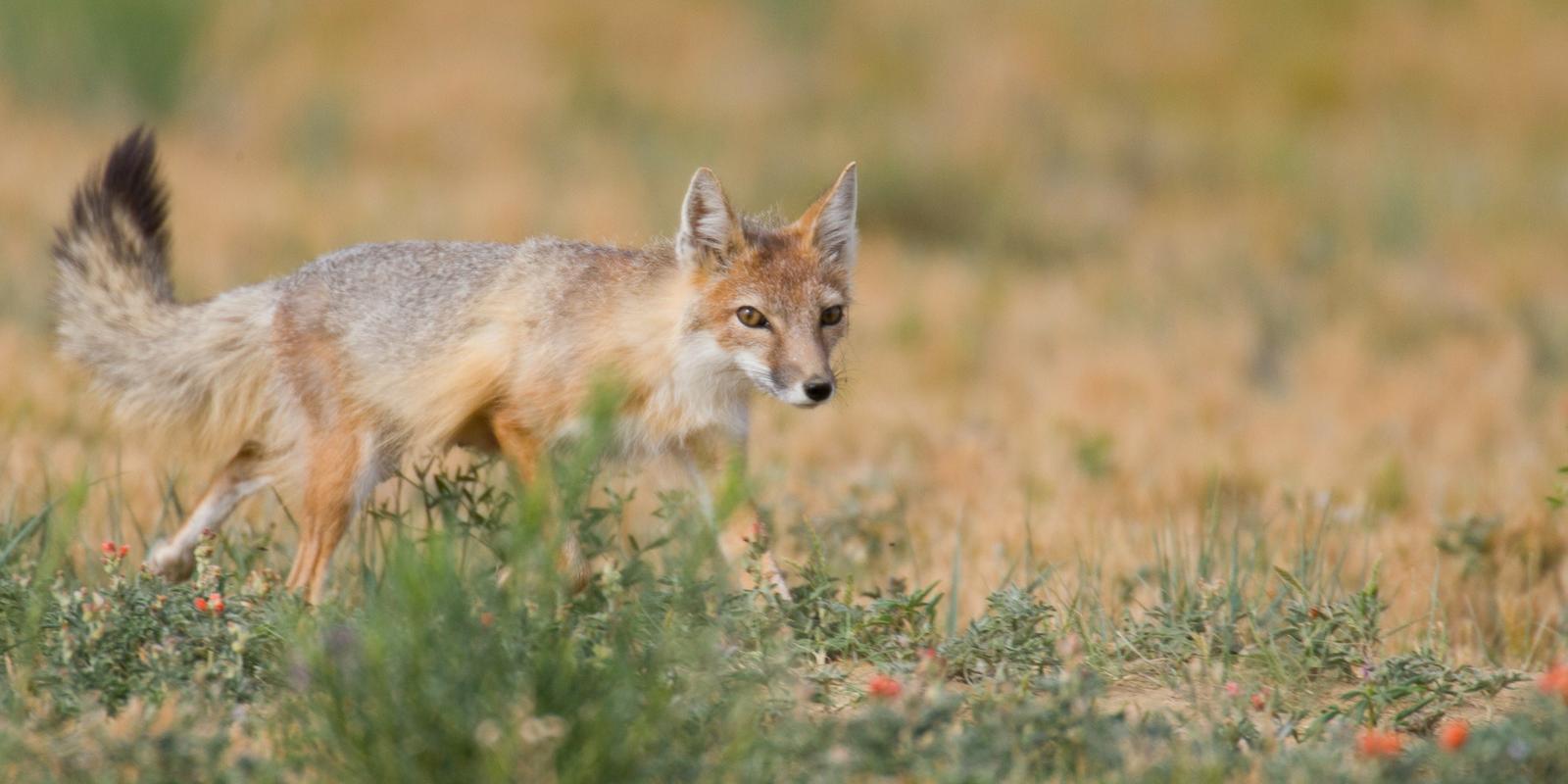 swift-fox_blogheader_GregW.Kasley.fw_