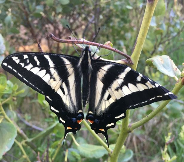 Swallowtail resting