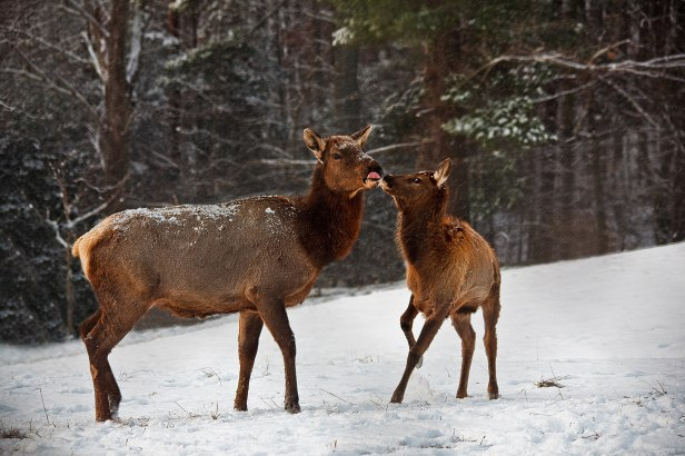 Mother-calf-elk-snow-kissing_-_West_Virginia_-_ForestWander