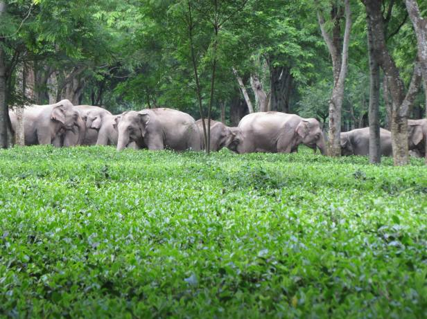 elephantsteaplantation