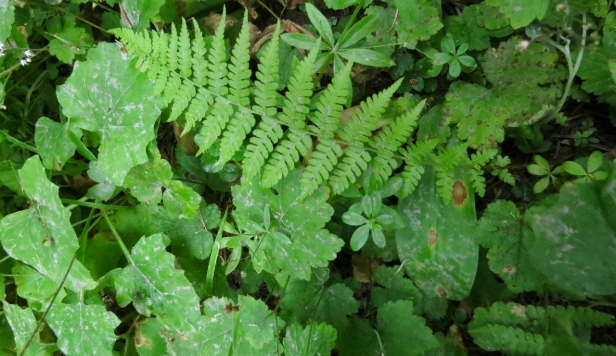 13- understory of ferns,etc