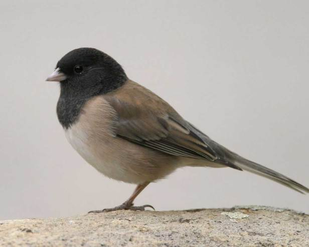 Dark-eyed_Junco_s70-2-077_l_1